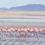 Flamingos am roten See