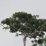 Bäume voller Aras