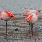 Flamingos im Eduardo Avaroa Nationalpark