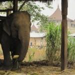 Elefant bei Pai