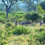 Zebras an der Mohlabetsi Lodge
