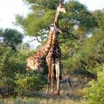 Giraffen im Krüger Nationalpark Südafrika