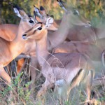 Impalas im Krüger Nationalpark