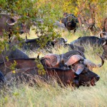 Büffelherde im Krüger Nationalpark Südafrika