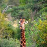 Griaffe im Krüger Nationalpark Südafrika