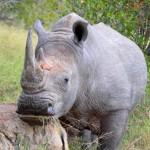 Nashorn im Krüger Nationalpark Südafrika