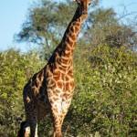 Giraffe im Krüger Nationalpark Südafrika