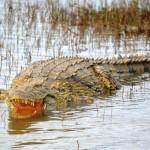 Krokodil in St. Lucia Südafrika