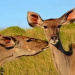 Tiere hautnah erleben in den Wetlands Südafrika