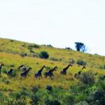 Giraffenherde im Hluhluwe Nationalpark Südafrika