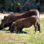 Warzenschweine im Hluhluwe Nationalpark Südafrika