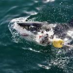 Weißer Hai in Mossel Bay