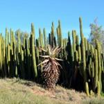Kakteen in der Wüstenlandschaft von Outshorn