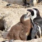 Pinguine in SimonsTown