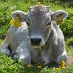 Alm-Idylle: Auf der Kemptnerhütte warten Kühe und Murmeltiere auf unseren Besuch.