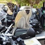 Affen auf Parkplatz