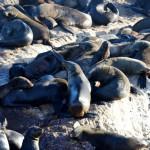 Robben bei Mosselbay