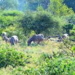 Mittagessen mit Blick auf Zebras