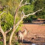 Wasserbock im Krüger Nationalpark