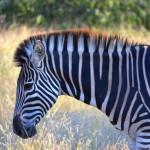 Zebra im Krüger Nationalpark
