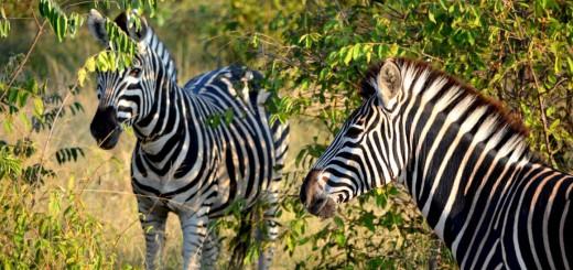 Zebras im Krüger Nationalpark