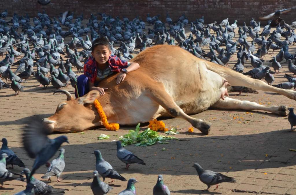 Der Kuh-Flüsterer von Kathmandu: Wie hypnotisiert man eine Kuh?
