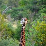 Knutschende Giraffe