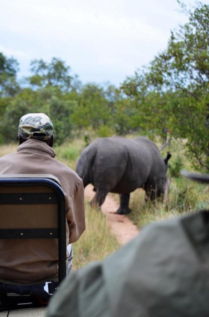 Nashorn bei Safari im Krüger Nationalpark