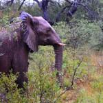 Elefant bei Regen im Krüger Nationalpark