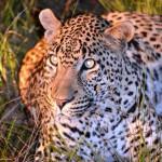Auge in Auge mit einem Leopard