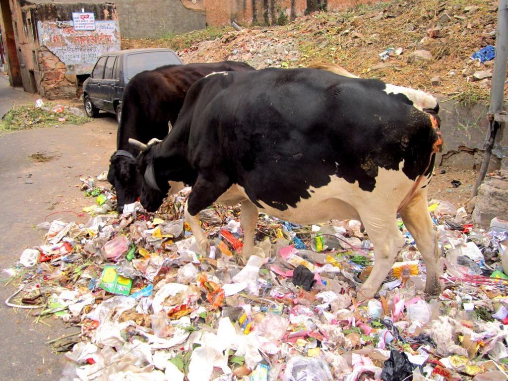 Straßenküche für Kühe: In Indien fressen die Kühe den Müll auf der Straße.