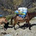 Maultiere befördern Verpflegung und Zelte über den Salkantay Trail.