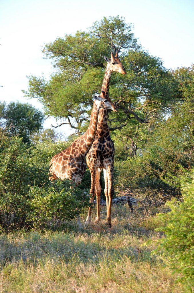 Selbstfahrer Safari: Giraffen beim Trinken zu beobachten - dafür brauchst du viel Zeit und Geduld!