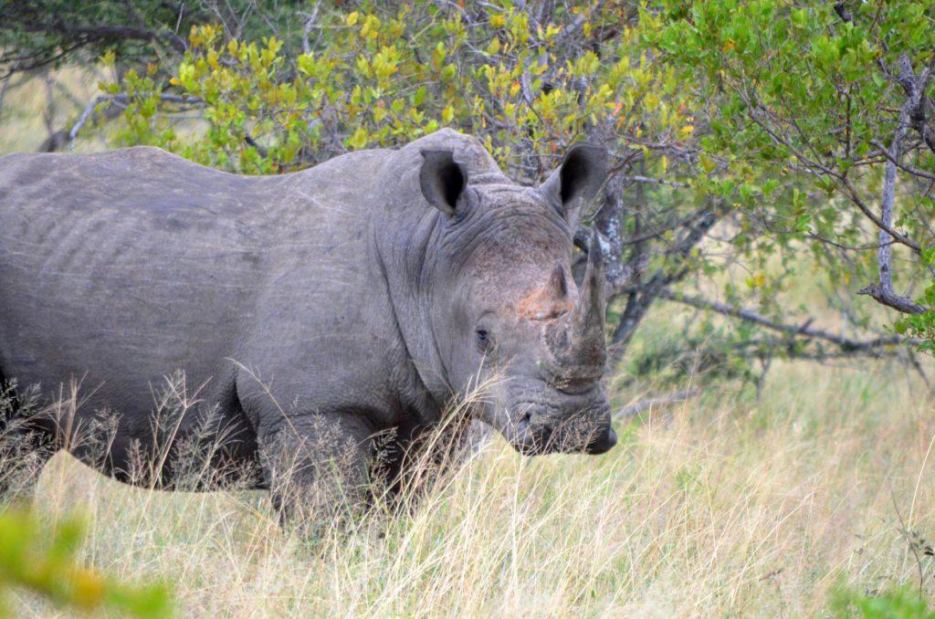 Selbstfahrer Safari: Nashorn im Krüger Nationalpark.