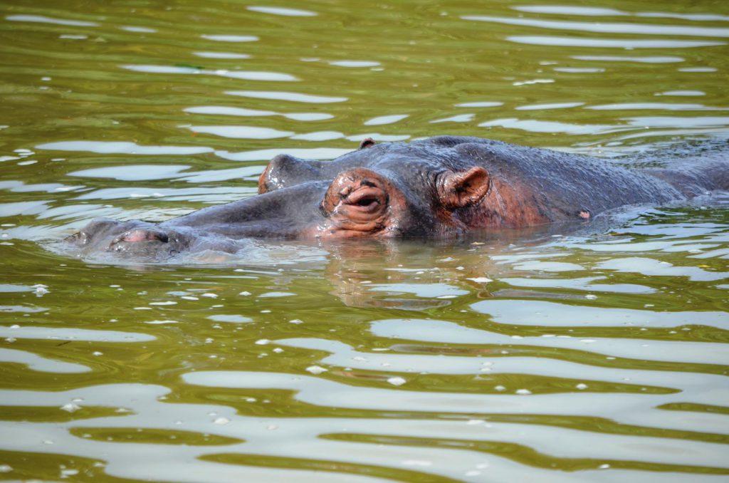 Selbstfahrer Safari: Vorsicht vor dem Nilpferd, es fühlt sich schnell bedroht!