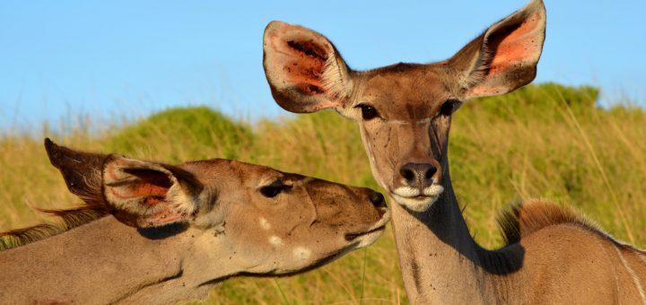 Selbstfahrer Safari Knigge für Südafrika