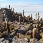 Kakteeninsel in der Salzwüste