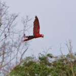 Papagei im Flug
