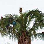 Papageien im Tambopata Nationalpark