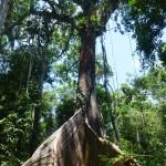 Riesenbäume im Amazonas