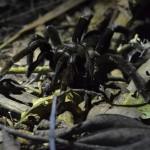Tarantel im Tambopata Nationalpark