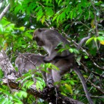Affen am Kinabatangan River