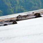 Transport Holz aus dem Regenwald