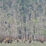 Mangroven am Bako Nationalpark