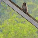 Affen am Bootssteg von Bako