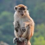Affen im Bako Nationapark