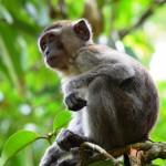 Affen im Bako Nationalpark