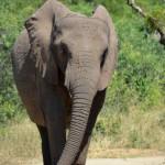 Hautnahe Begegnung mit Elefant