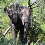Elefant im Hügellanschaft des Hluhluwe-iMfolozi-Park