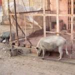 Wildschweine in Jaipur